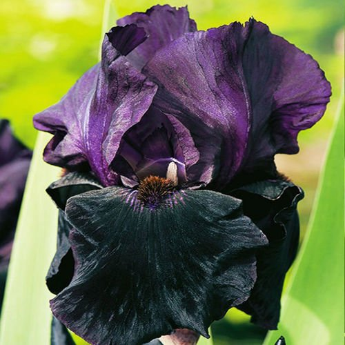 Kosaciec (Iris Germanica) Black Night 1 szt.