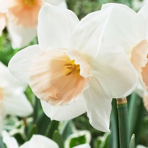 Narcyz (Narcissus) Katie Heath 5 szt.